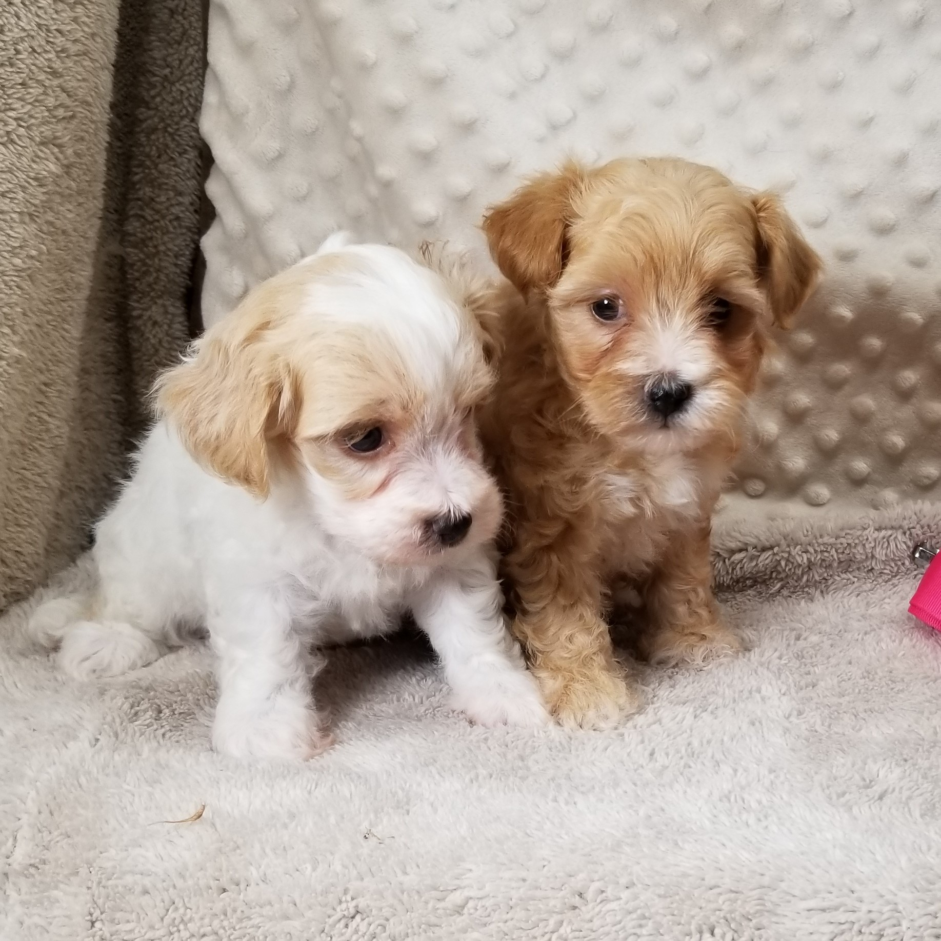 Toy Breed Puppies For Sale in Texas | Vicky's Toy Puppies