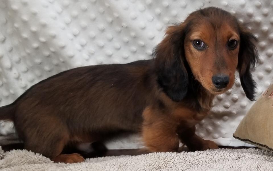 CKC Miniature Long Coat Dachshund Puppy born 9/6'19,  $700.00