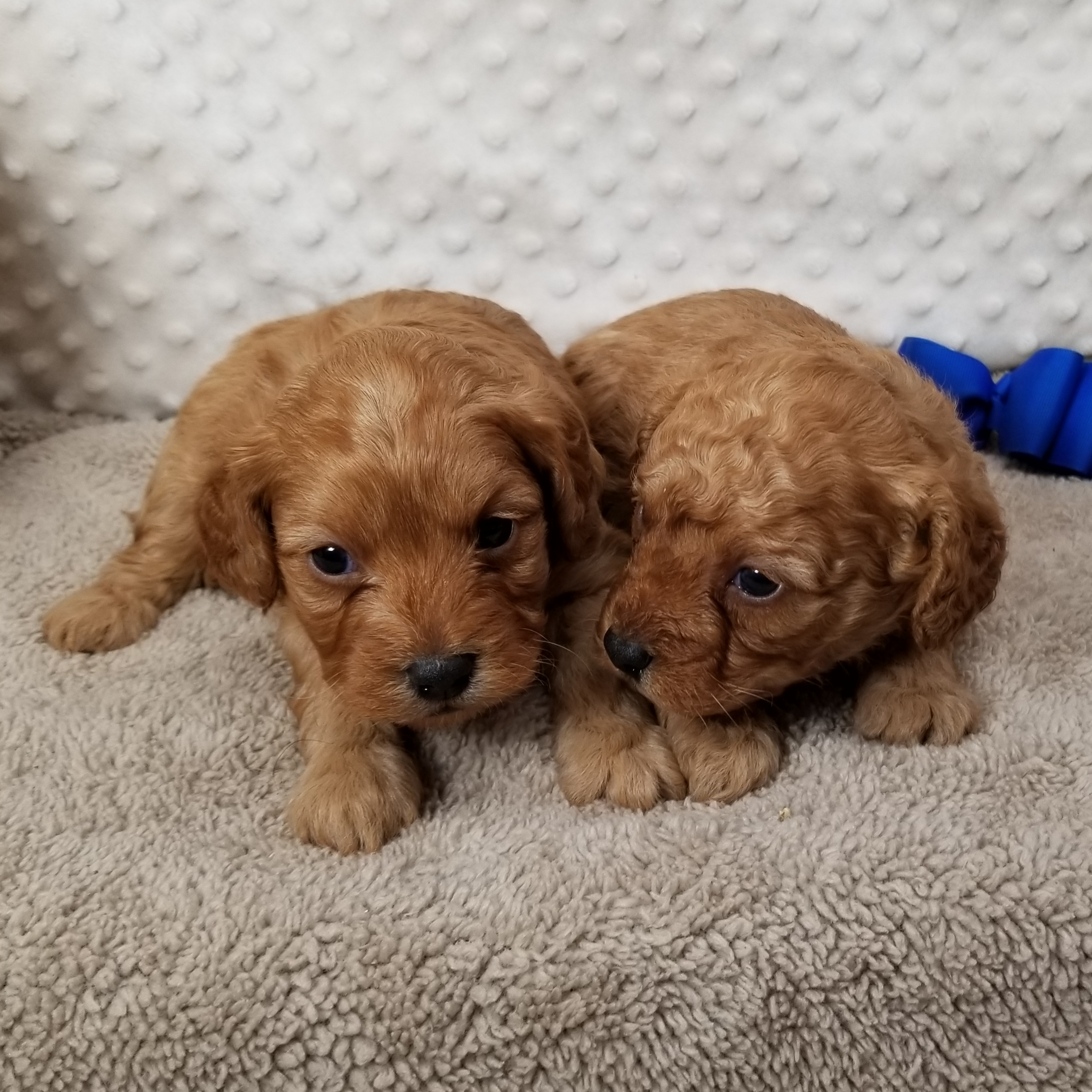 ~Two Available~ CKC F1B Cavapoo males born 12/24'19.... $1800 each, Two  Available~