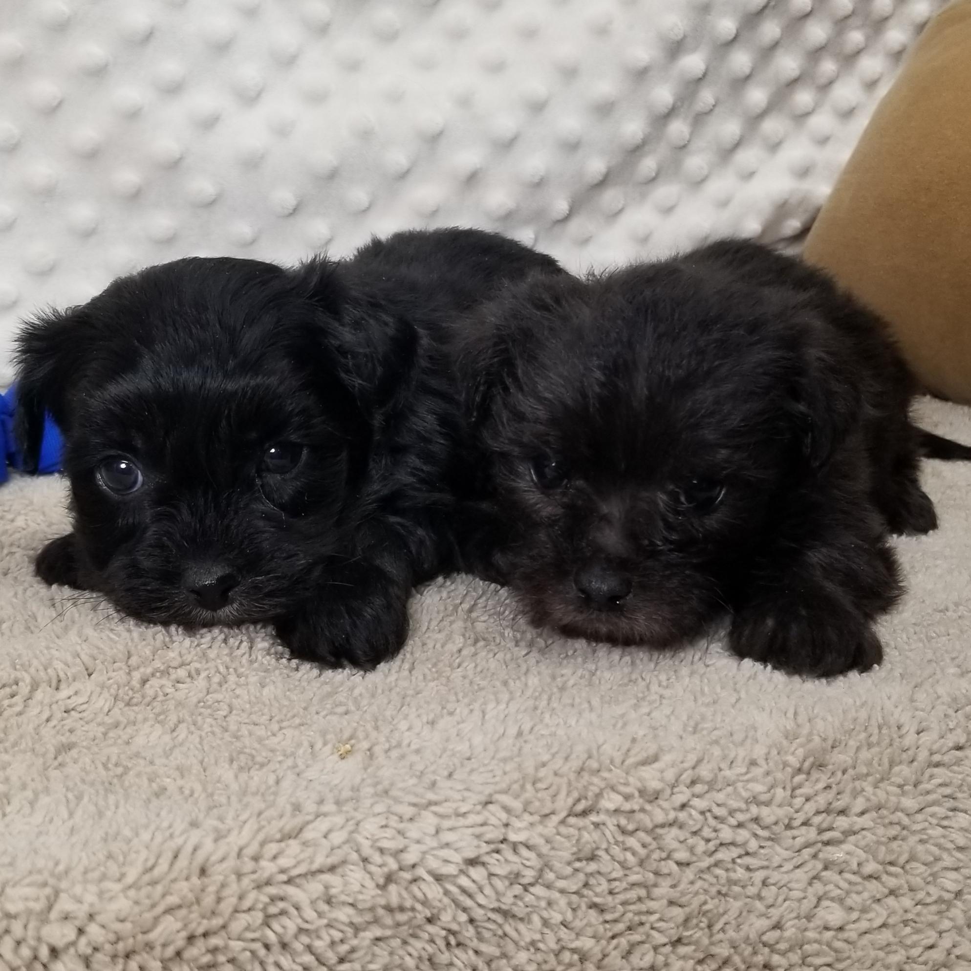 CKC  Male Morkie Puppies Born 12/15'19 Friday, $850.00