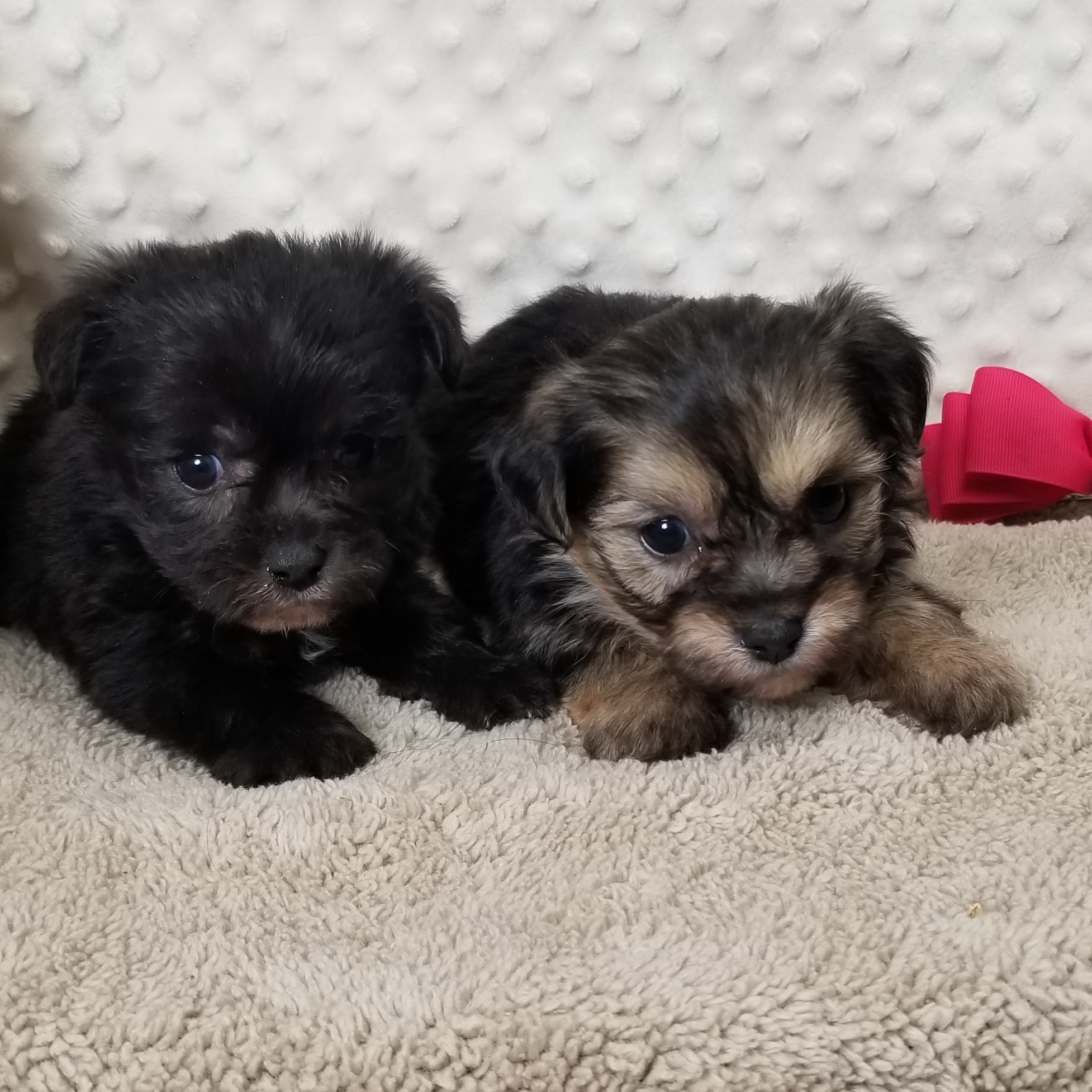 CKC Female Morkie Puppies Born 12/15'19 Friday, $1050.00