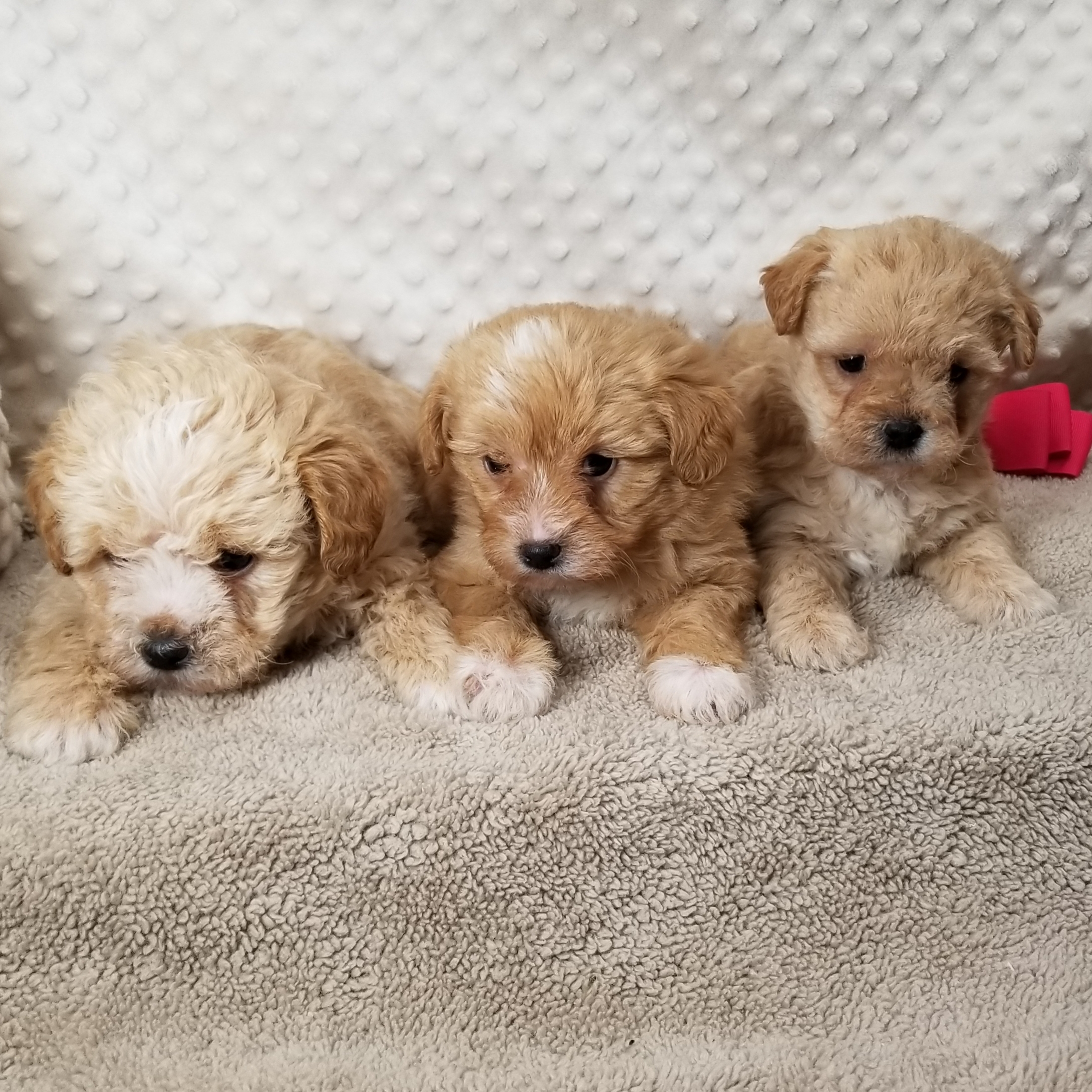CKC ShorkiePoo Female Puppies born on 12/14,2020 Saturday $900/$950 each