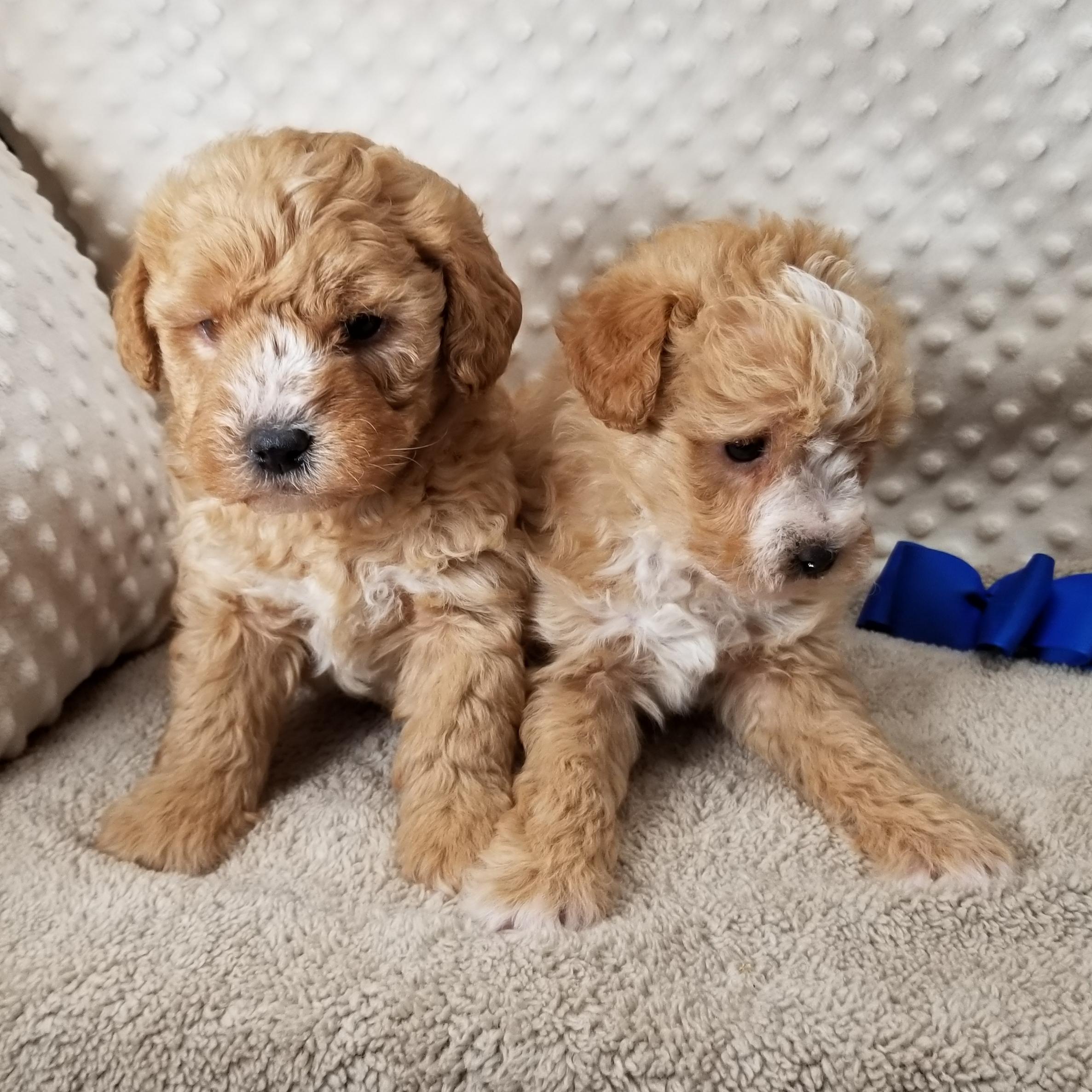 CKC ShorkiePoo Male Puppies born on12/14,2020 Saturday $800 each.
