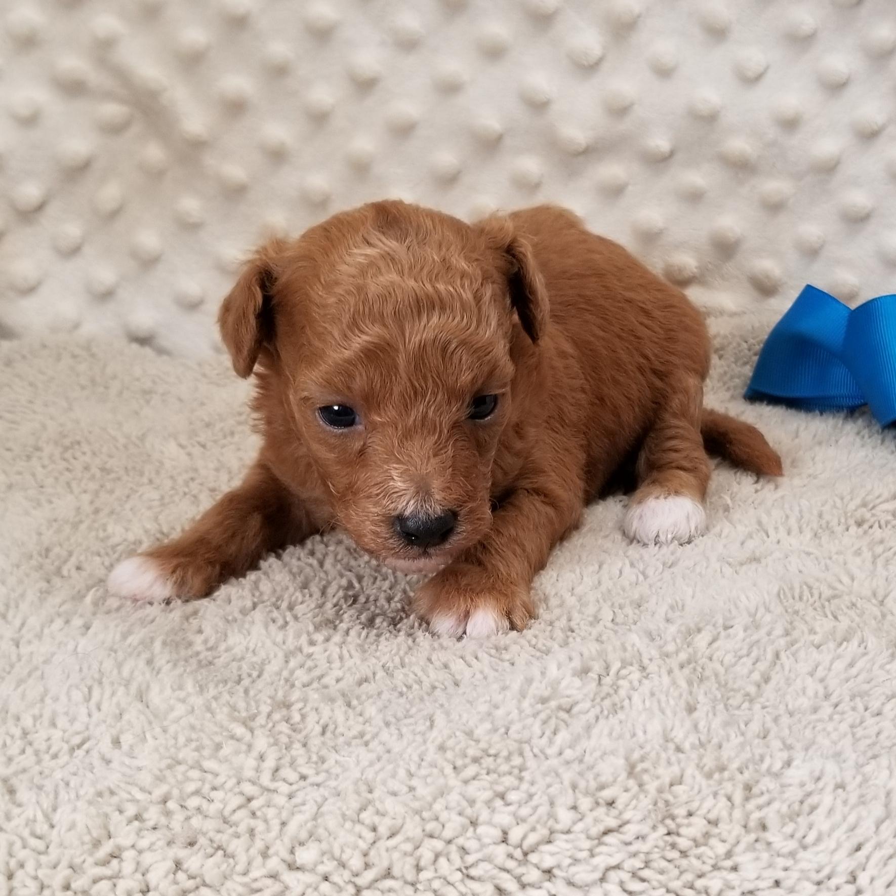 ~ H O L D ~~ CKC Apricot Male MaltiPoo puppy born: 8/22/2020.... $2,500 each ~~ H O L D ~