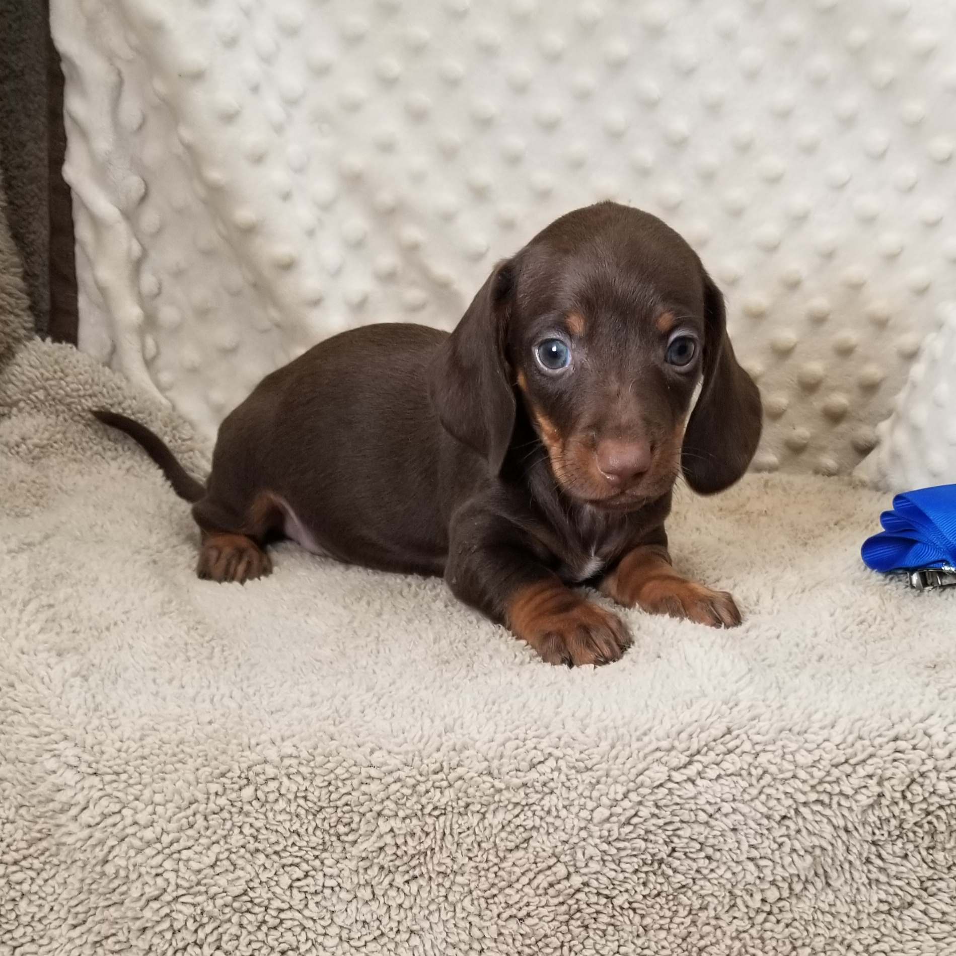 CKC Smooth Chocolate & Tan Miniature Dachshunds,  born: 8/28/2020, $1500
