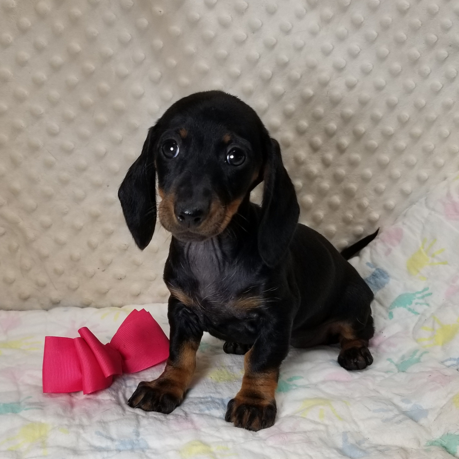 CKC Black & Tan females Smooth Coat Miniature Dachshund, Born 8/17/2020, $1500 each