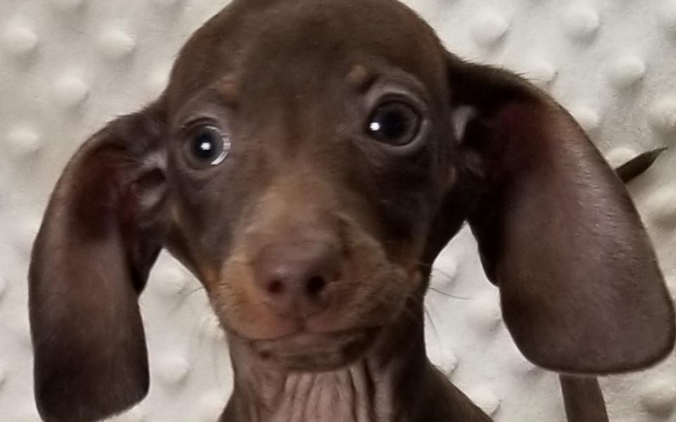 Tiny CKC Smooth Chocolate & Tan Miniature Dachshunds,  born: 8/28/2020, $1500