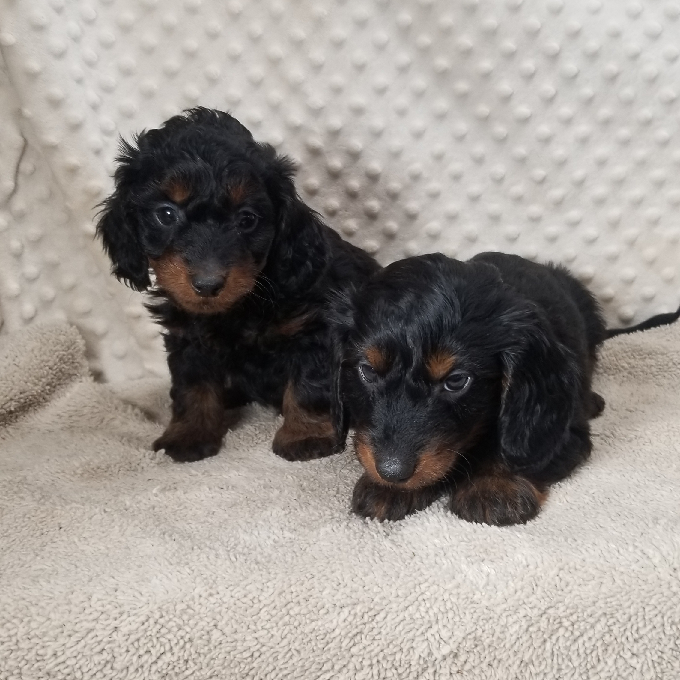CKC DoxieDoodle F1 Male puppies..... Born 9/30/2020, 8 wks 11/25/20, Wed.....Males $1850