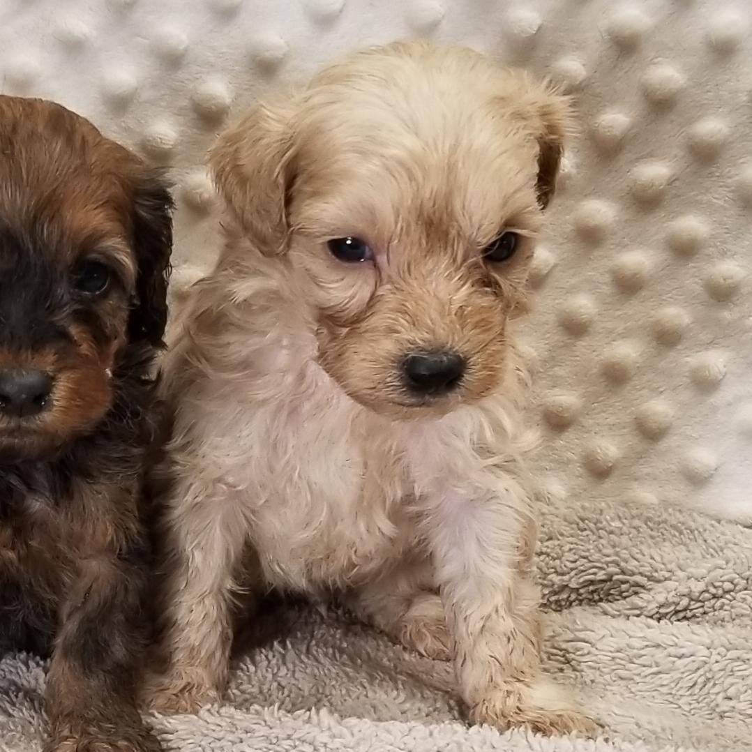 Non-Shed Cream colored YorkiePoo puppy male born 10/20/20, $2000