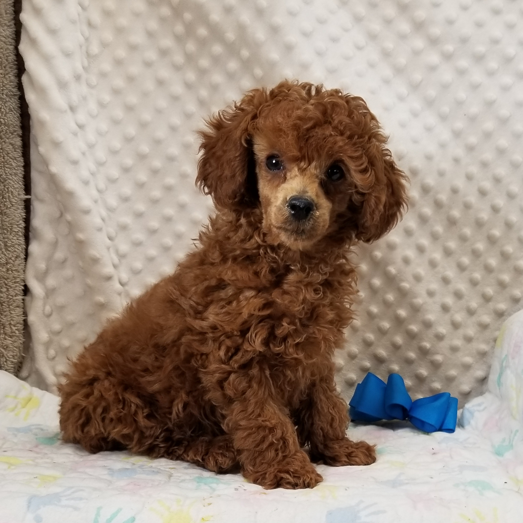 Red Miniature Poodle Male. Born 10/23'2021 $3000 ~~SOLD~~