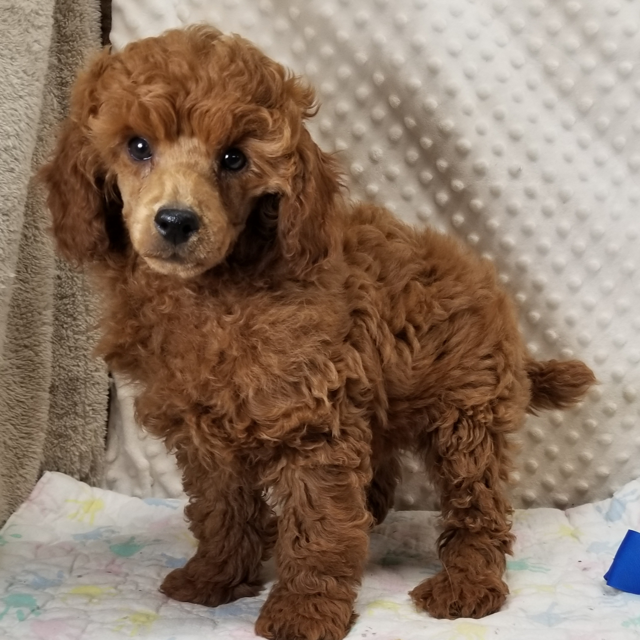 ~~~ HOLD/Sold ~ Miniature Red Poodle Male.... Pet Only, $2750 ~ HOLD/Sold ~~~