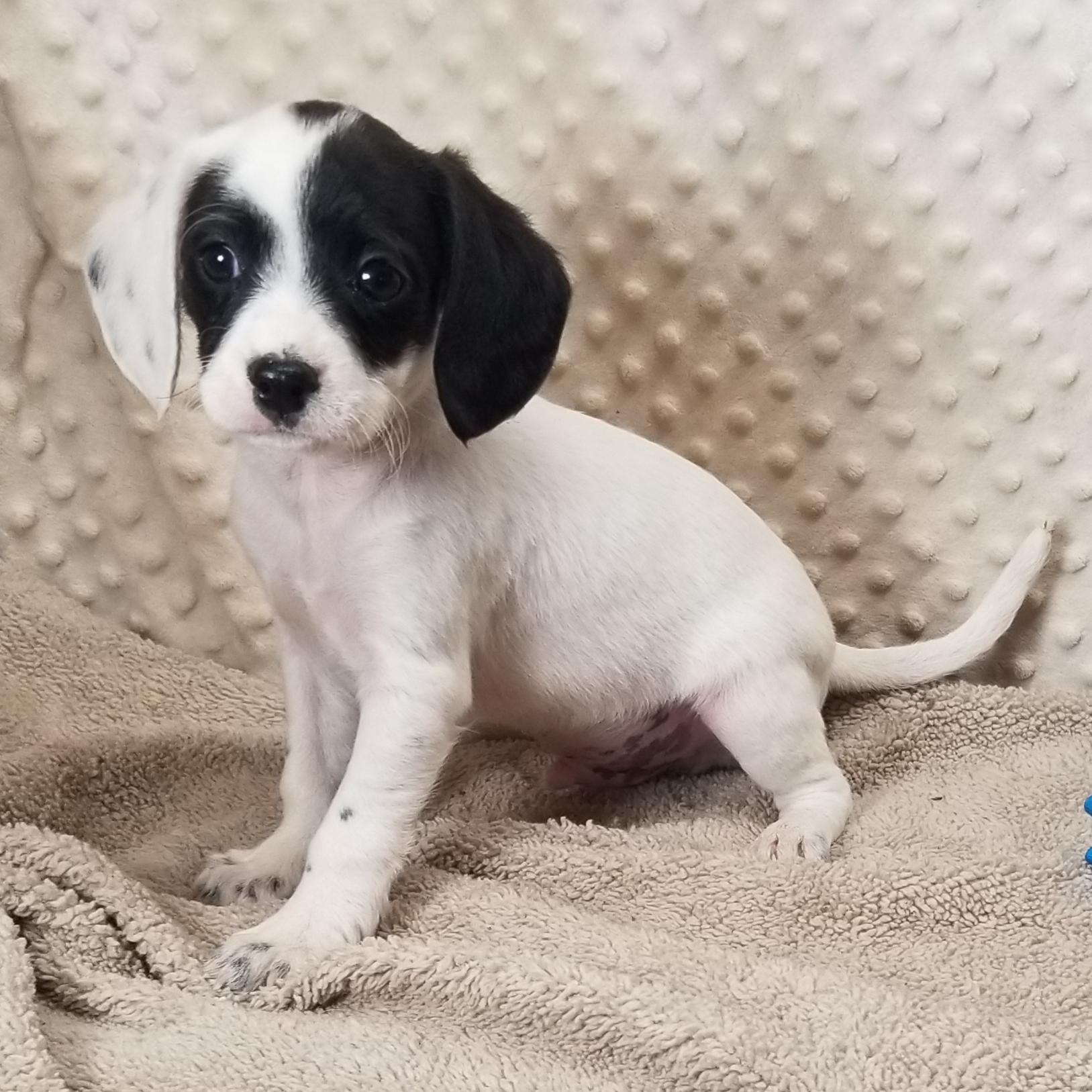 Cavalier Spaniel  Cross Males.... born 2/2/2021, $900