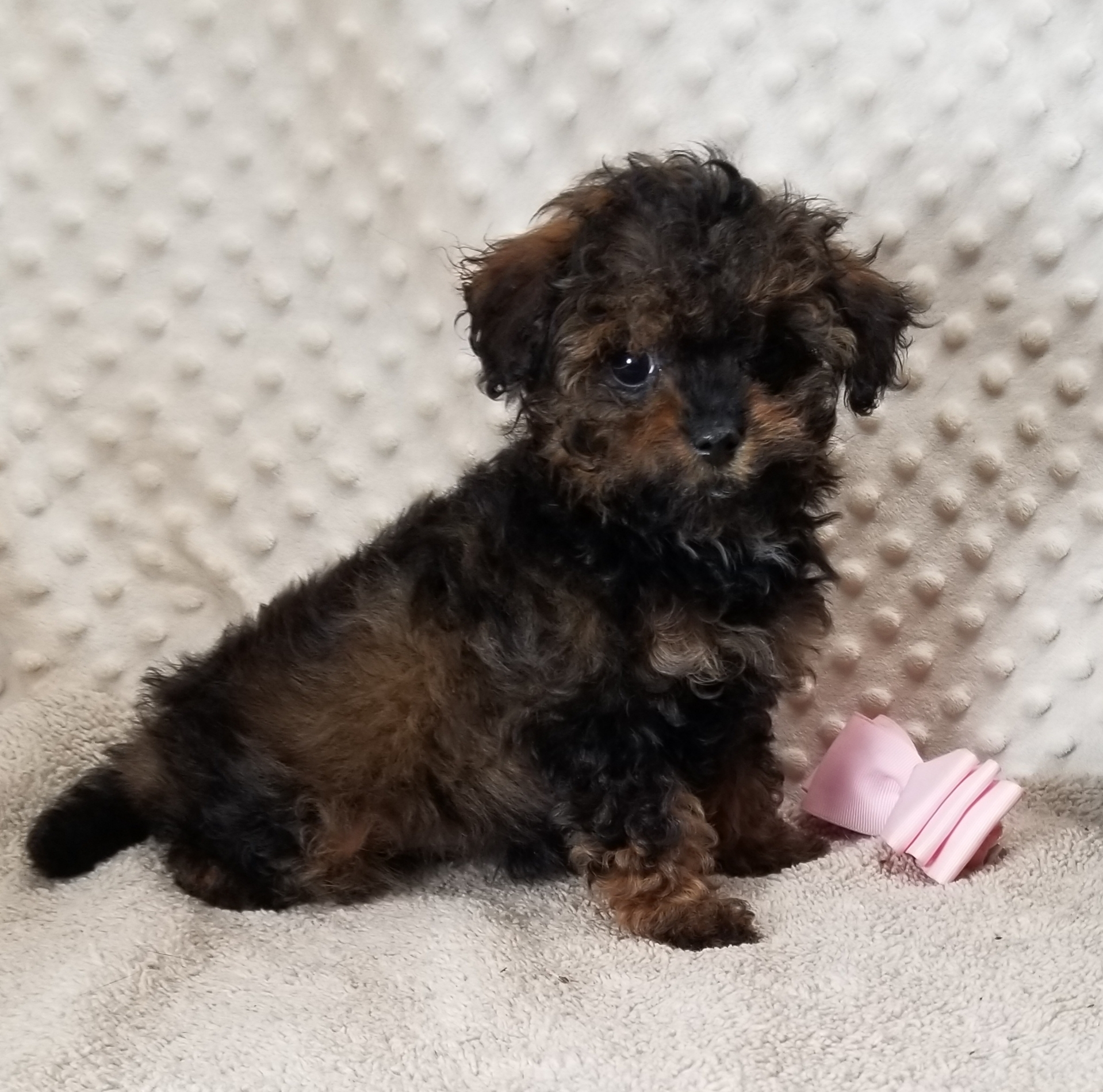Sable and Red MaltiPoo female, Born 1/22'21 $2,750.00