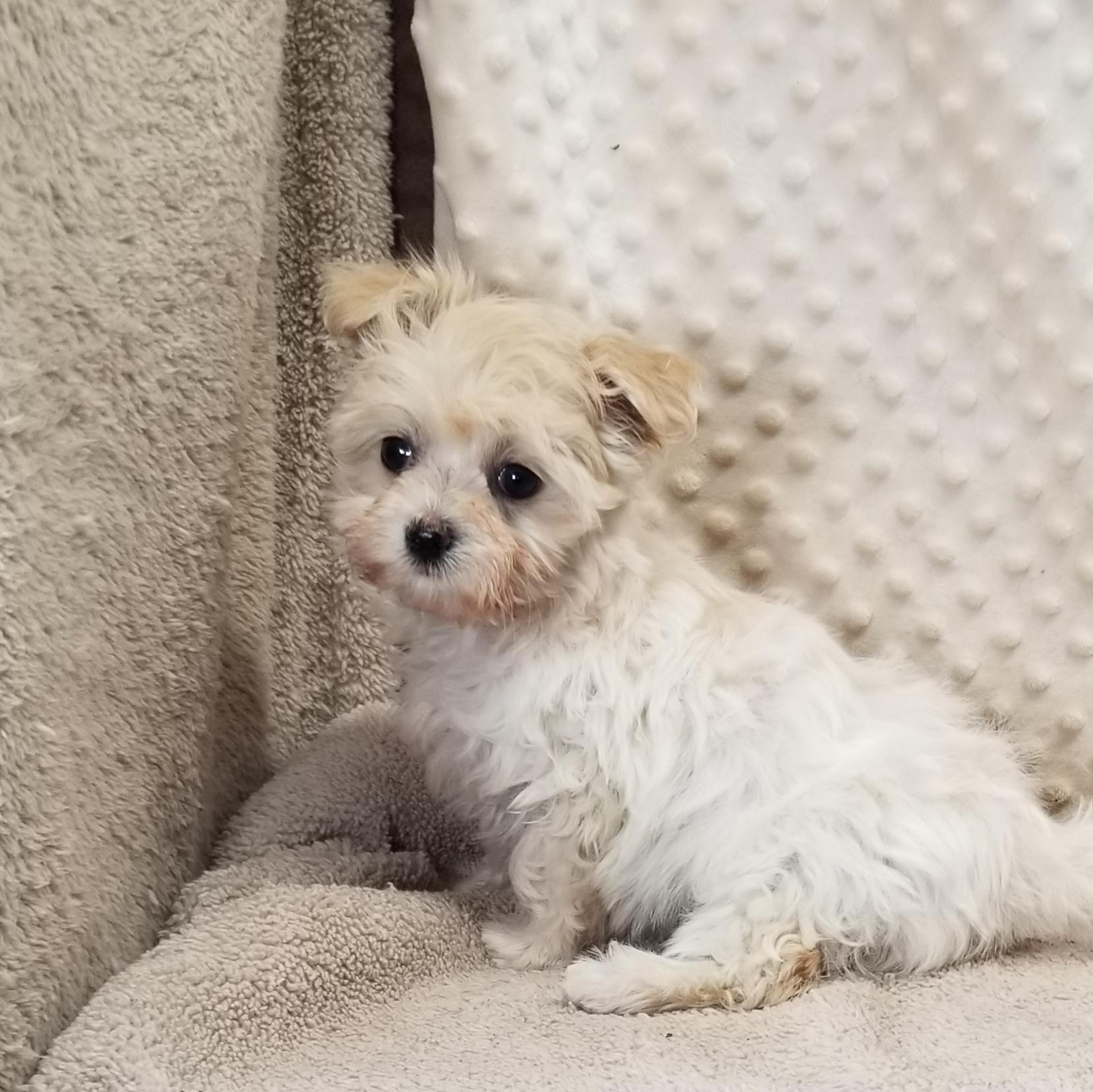 Very Small Cream MaltiPoo female, Born 1/27'21, $2,750.00... ~Reserved ~