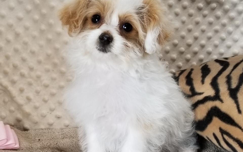 'Tiny' White and Apricot MaltiPoo female,  Born 1/22'21, $2,650.00