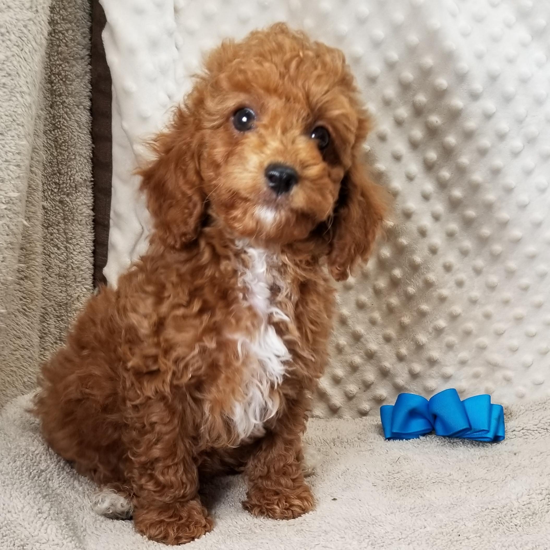 1  F1B...CKC Red Male CavaPoo Puppies born 3/26'21 $3,500