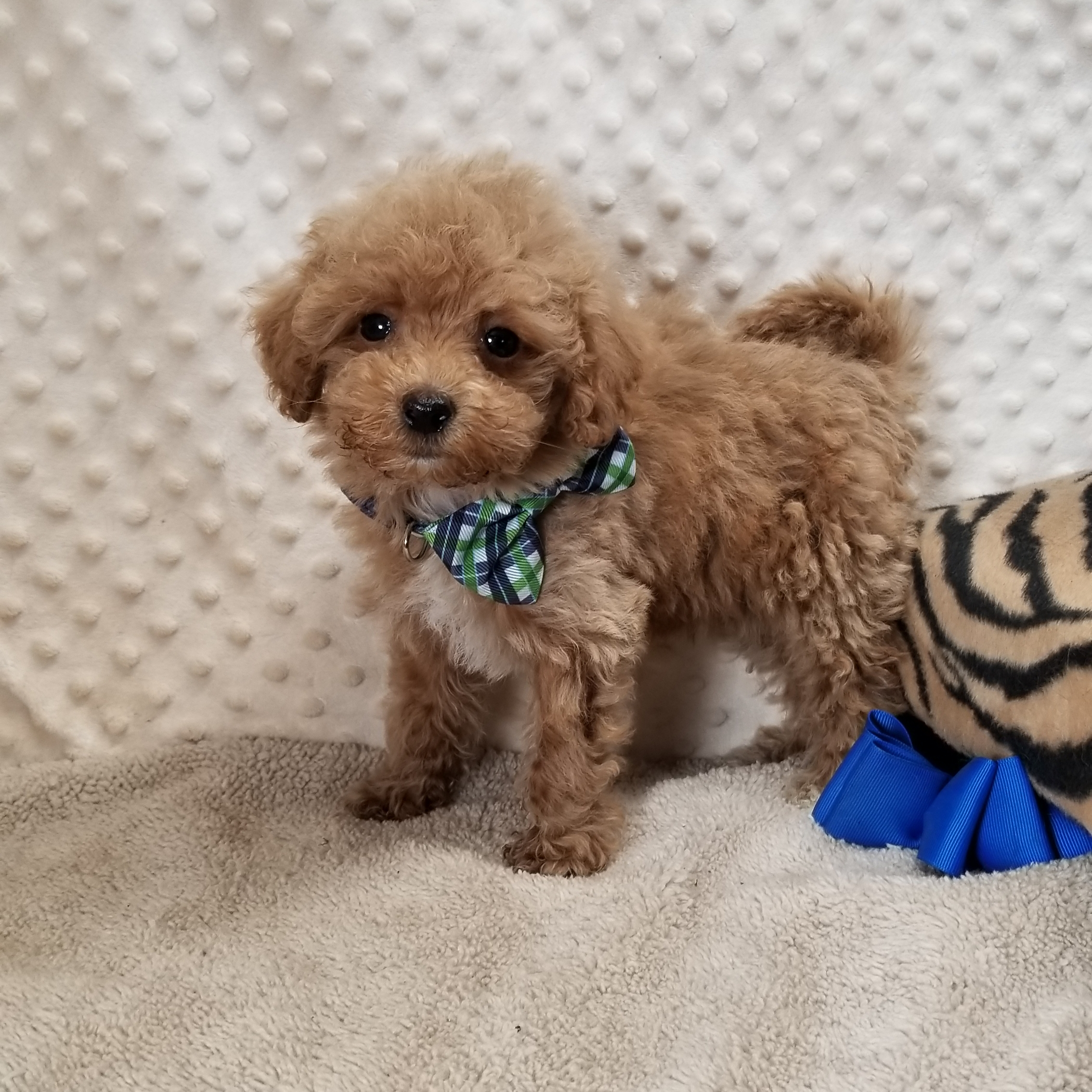 Apricot and white MaltiPoo boy.  Born 5/10'21 $2500 ~ RESERVED ~