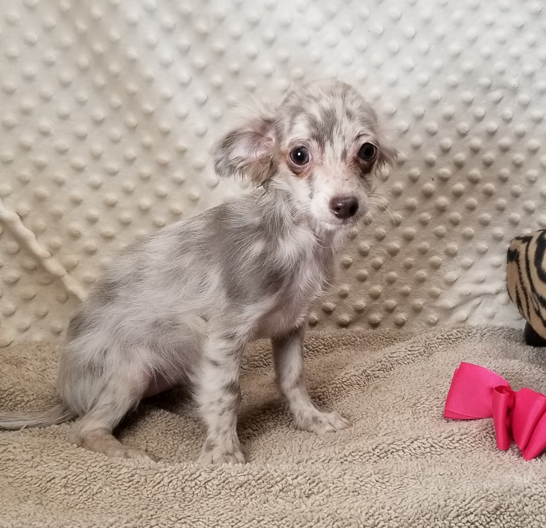 Lilac Merle long coat female Chihuahua. Born 4/30'21, $1,500