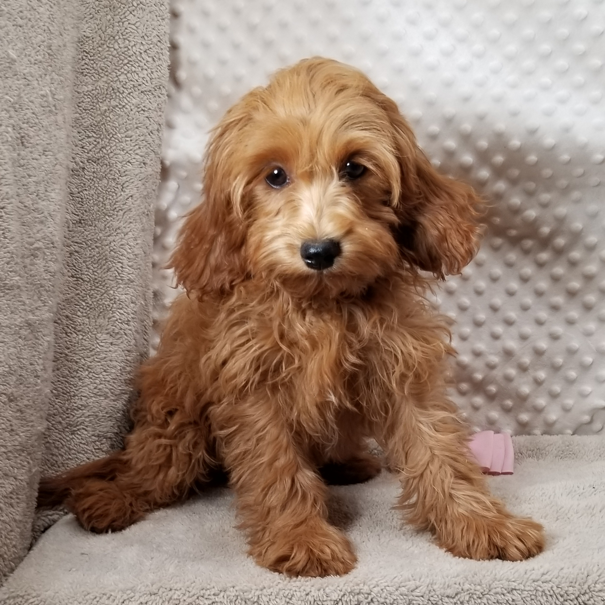 CKC Red CavaPoo F1 Females Mother 'Holly', Born 6/5'21,  $2,850